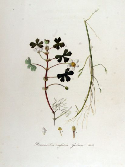 Ranunculus confusus