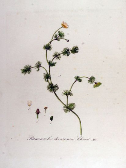 Ranunculus divaricatus