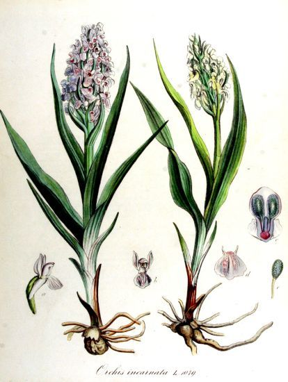 Dactylorhiza incarnata (L.) So�