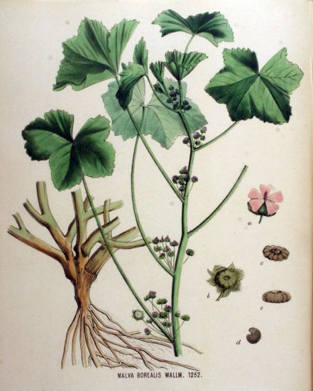 Malva borealis