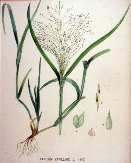 Panicum capillare,