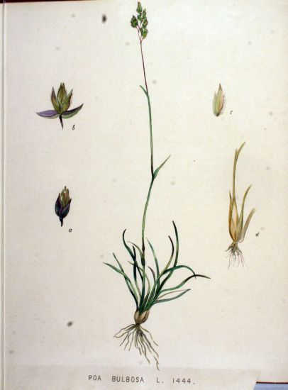 Poa bulbosa,