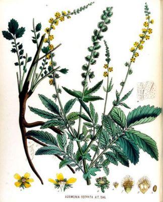 Agrimonia odorata