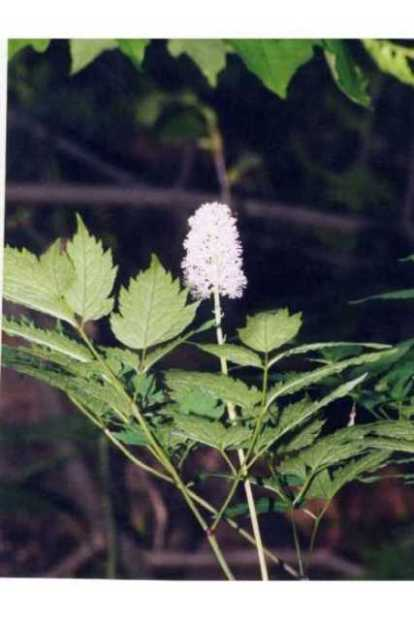 Actaea pachypoda,