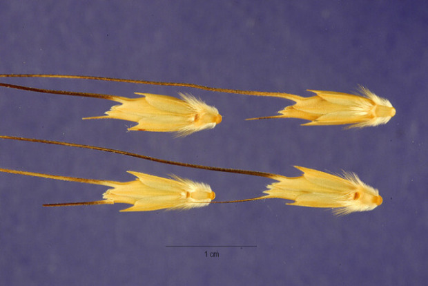 Aegilops bicornis,
