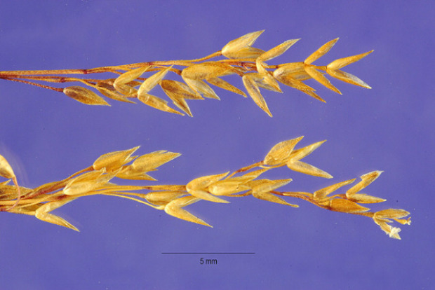 Agrostis breviculmis