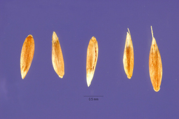 Agrostis clavata,