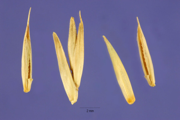 Agropyron cristatum,