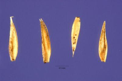 Aira capillaris