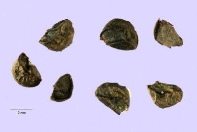 Allium fistulosum