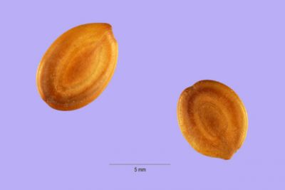 Albizia odoratissima