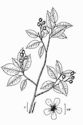Amelanchier canadensis