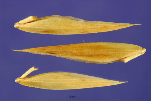 Bromus brevis,