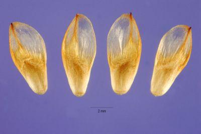 Casuarina lepidophloia