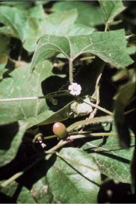 Cayaponia quinqueloba