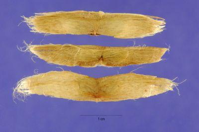 Catalpa speciosa