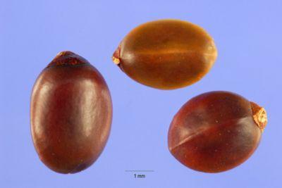 Ceanothus prostratus