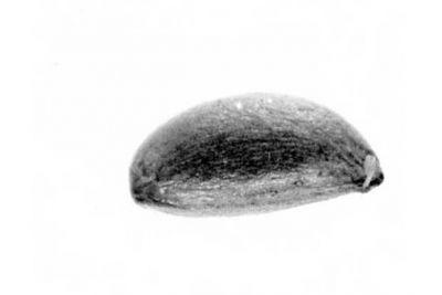 Celastrus scandens