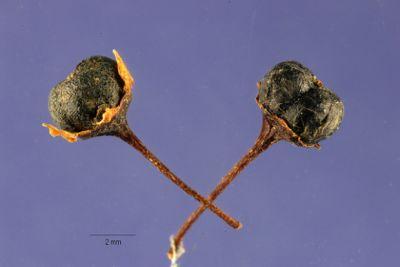 Ceanothus thyrsiflorus