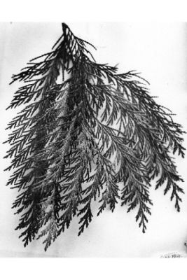 Chamaecyparis lawsoniana -