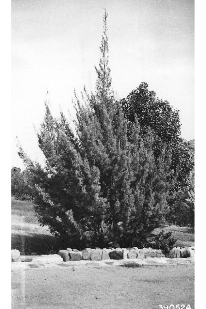 Cupressus arizonica Green