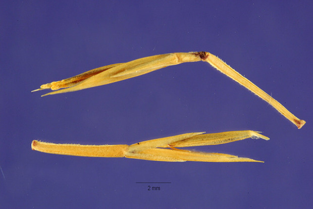 Cutandia memphitica,