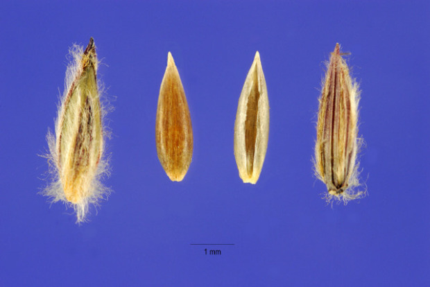 Digitaria eriantha,