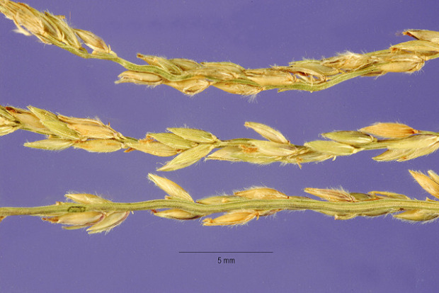 Digitaria macroglossa