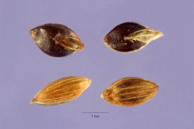 Digitaria iburua, black acha, black fonio, fonio noir, Iburu, manne noir