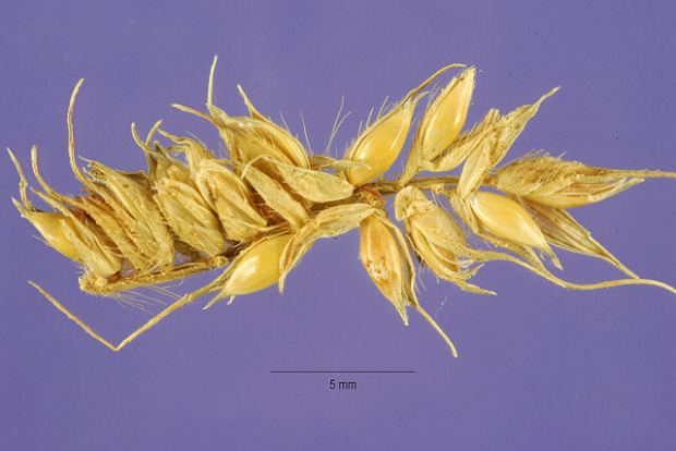 Echinochloa stagnina,