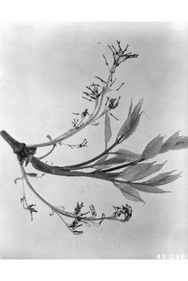 Fraxinus americana