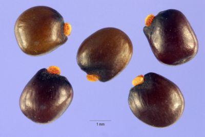 Genista canariensis