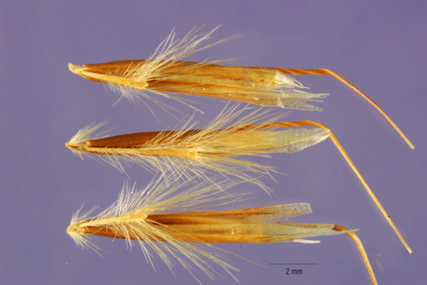 Helictotrichon pubescens,