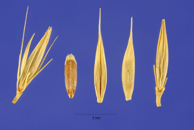 Hordeum brachyantherum,