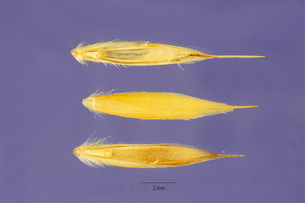 Leymus angustus,