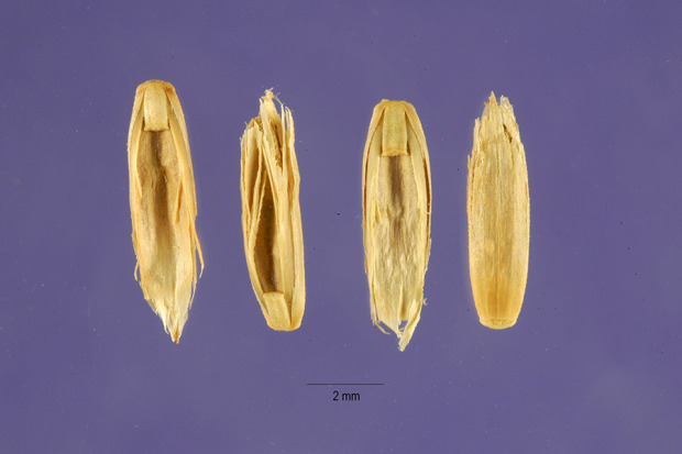Lolium loliaceum,