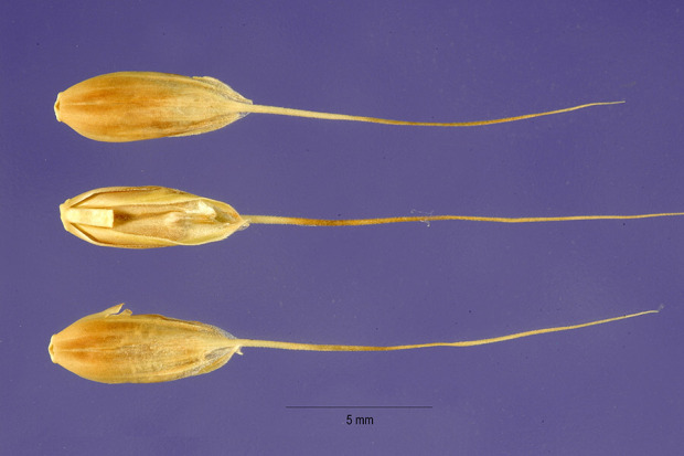 Lolium temulentum var. leptochaeton