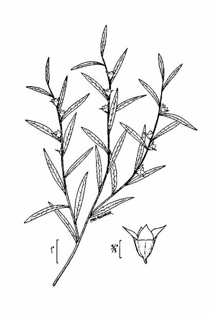 Ludwigia linearis,