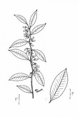 Lyonia lucida