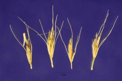 Lycurus phleoides