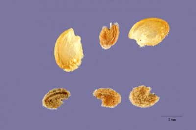 Malacothamnus fasciculatus