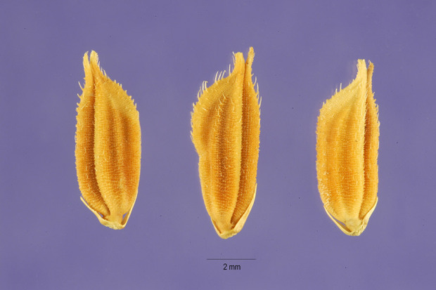 Oryza latifolia,