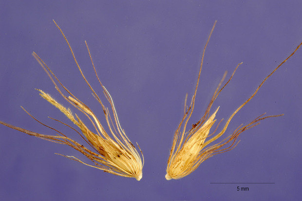 Pennisetum latifolium,