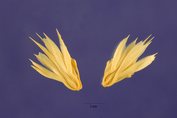 Phalaris paradoxa var. praemorsa,