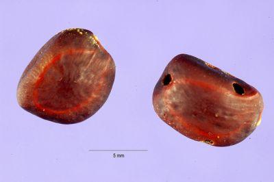 Pithecellobium flexicaule