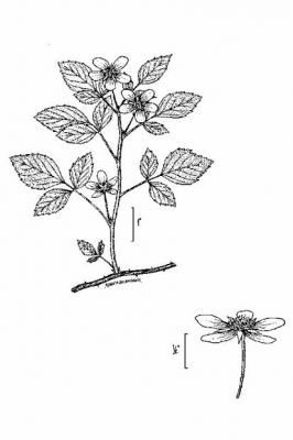 Rubus flagellaris - North America