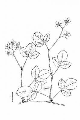 Rubus hispidus - North America