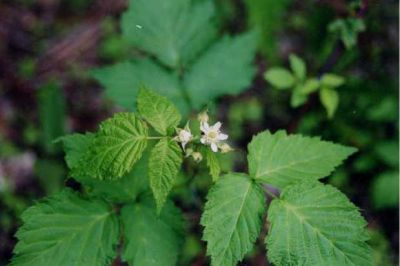 Rubus occidentalis - North America