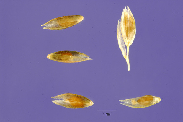 Sporobolus contractus,