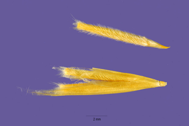 Stipa speciosa,